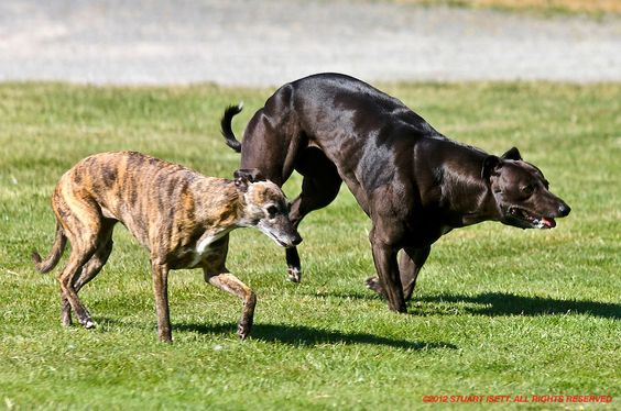 whippet bully