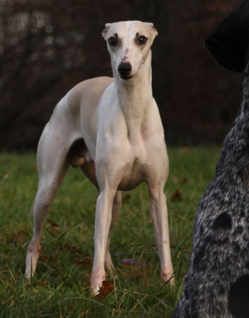 juste a pic, male whippet sable